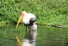 Painted Storks Stock Image