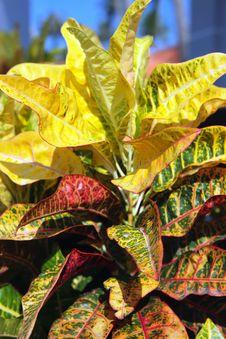 Free Garden Plant - Croton. Codiaeum Variegatum. Stock Photos - 28462143