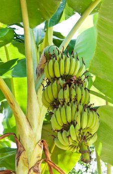 Free Young Banana Royalty Free Stock Images - 28464329