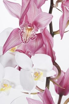 Free Beautiful Orchids  Over White Background Royalty Free Stock Images - 28464359