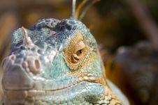 Free Iguana S Head Stock Photo - 28467810