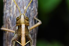 Free Big Grasshopper Stock Images - 28468054