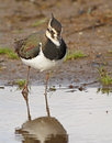 Free Northern Lapwing Stock Photos - 28471793