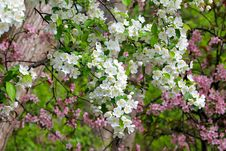 Free Apple Blossom Tree Royalty Free Stock Photos - 28471328