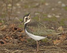 Free Northern Lapwing Royalty Free Stock Image - 28471806