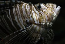 Free Lionfish Royalty Free Stock Image - 28472116