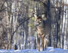 Free Whitetail Deer Royalty Free Stock Photography - 28474317