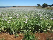 Free Pharmaceutical Opium Poppy Field, Tasmania, Australia Royalty Free Stock Image - 28475206