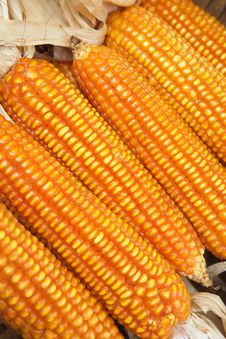 Free Corn Royalty Free Stock Image - 28476266