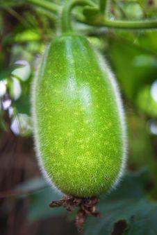 Free Rattan Melon Stock Photography - 28476312