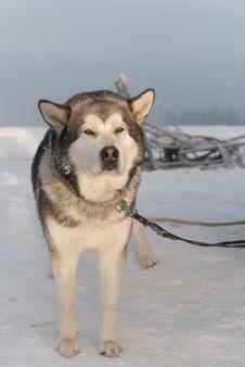 Free Alaskan Malamute Stock Photos - 28477523