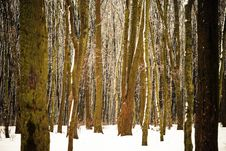Free Forest Trees Background Royalty Free Stock Photography - 28479987