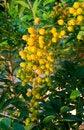 Free Yellow-golden Berry Fruit Stock Image - 28481971