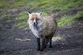 Free Fox Royalty Free Stock Image - 28483886