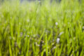 Free Bokeh Of The Rice Field Stock Images - 28489864