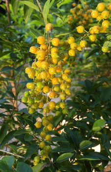 Free Yellow-golden Berry Fruit Stock Image - 28481971