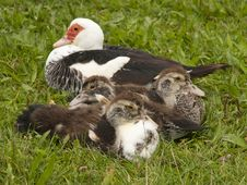 Free Duck With Ducklings Stock Photos - 28481993