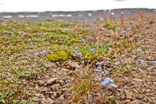 Free Forget-me-nots Among The Stones. Royalty Free Stock Photo - 28483625