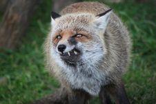 Free Fox Royalty Free Stock Photography - 28483897