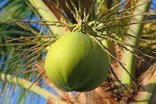 Free Coconut Royalty Free Stock Photo - 28487045