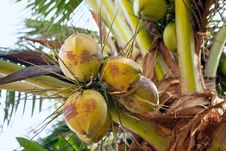 Free Coconuts Royalty Free Stock Photo - 28487055