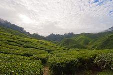 Free Green Tea Plantation Stock Images - 28489244