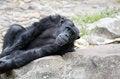 Free Chimpanzee Stock Image - 28490341