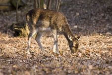 Fallow-deer Stock Images