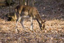 Fallow-deer Stock Images