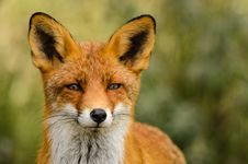 Free Red Fox &x28;Vulpes Vulpes&x29; Royalty Free Stock Images - 28493759
