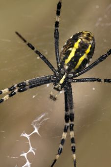 Free Wasp Spider Stock Photography - 28495922