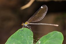 Free Large Damselfly Royalty Free Stock Photography - 28499407