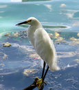 Free Snowy Egret Stock Photography - 2853102