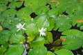 Free Pair Of Lilies Stock Photos - 2855523