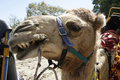 Free Camel Showing His Teeth Stock Images - 2856434