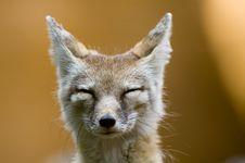 Free Corsac Fox Stock Photo - 2850000