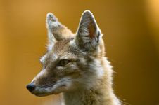 Free Corsac Fox Royalty Free Stock Photography - 2850007