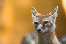 Free Corsac Fox Stock Photos - 2850023