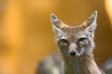 Free Corsac Fox Stock Images - 2850024