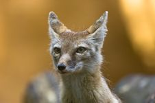 Free Corsac Fox Stock Photography - 2850032