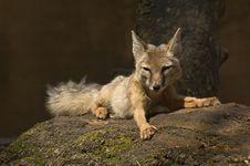 Free Corsac Fox Stock Images - 2850044