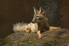 Free Corsac Fox Royalty Free Stock Images - 2850049