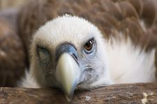 Free Funny Looking Vulture Royalty Free Stock Photography - 2850107