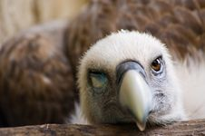 Free Funny Looking Vulture Stock Photos - 2850113