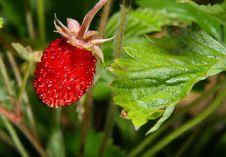 Free Wild Strawberry Stock Photo - 2850200