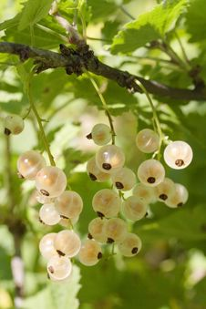 Free Yellow Currant Royalty Free Stock Images - 2850719