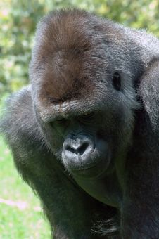 Free A Huge Gorilla Stock Photography - 2851082
