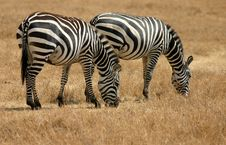 Free Two Zebras Grazing In Tanzania Stock Photography - 2851622