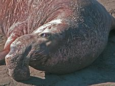 Free Male Elephant Seal Royalty Free Stock Image - 2851966