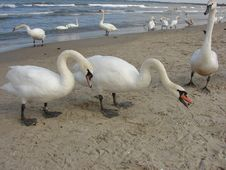 Free Swans On The Beach Royalty Free Stock Photography - 2852117